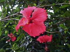 shrub(0.0), rosa chinensis(0.0), flower(1.0), plant(1.0), malvales(1.0), flora(1.0), chinese hibiscus(1.0),