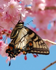 Obsession With This Butterfly!
