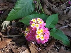 annual plant, flower, leaf, plant, wildflower, flora, lantana camara,