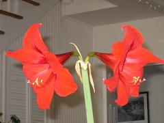 amaryllis belladonna, orange, flower, red, plant, petal,