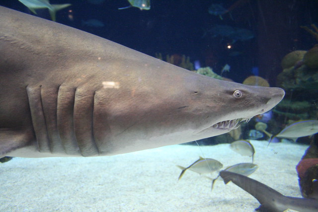 Sand tiger shark (Carcharias taurus). Credit: Jim Winstead
