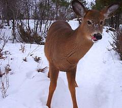 white-tailed deer(0.0), reindeer(0.0), animal(1.0), deer(1.0), fauna(1.0), musk deer(1.0), wildlife(1.0),
