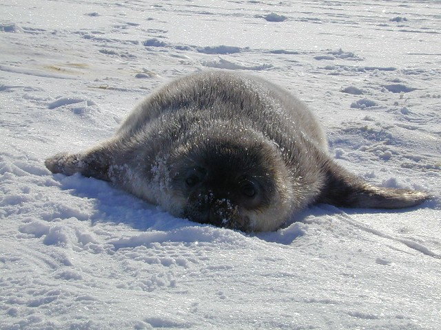 baby weddell seal | Flickr - Photo Sharing!