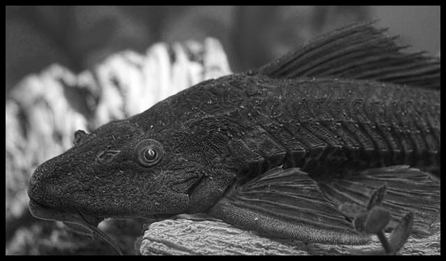 Plecostomus flickr photo sharing for Take me fishing org
