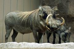 domestic pig(0.0), horn(0.0), rhinoceros(0.0), wildlife(0.0), animal(1.0), wild boar(1.0), zoo(1.0), pig(1.0), fauna(1.0), pig-like mammal(1.0), warthog(1.0),