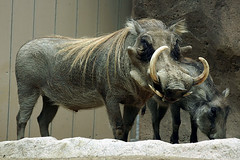 animal, wild boar, zoo, pig, fauna, pig-like mammal, warthog,