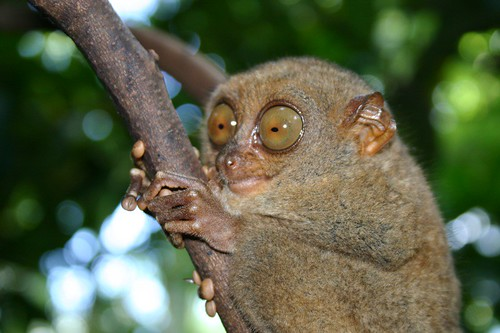 Tarsier,he is a monkey...