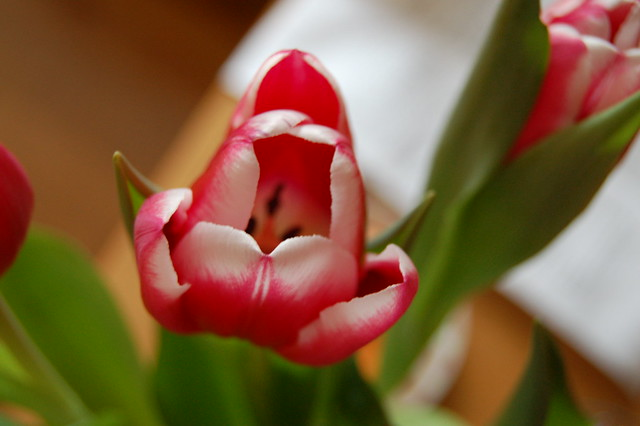 Pink tulip photo by iHanna