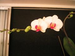 orchid, phalaenopsis, window, flower, green… IMG_0946.JPG