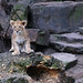 Lion cub, Artis zoo