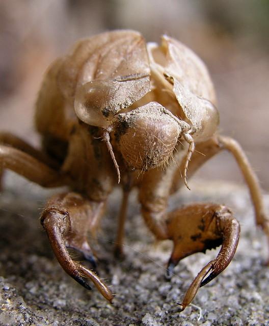 Cicada shell I: Frontal view | Flickr - Photo Sharing!