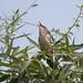 Oriental Reed-warbler, Beijing, CN, 2014-06-18--130