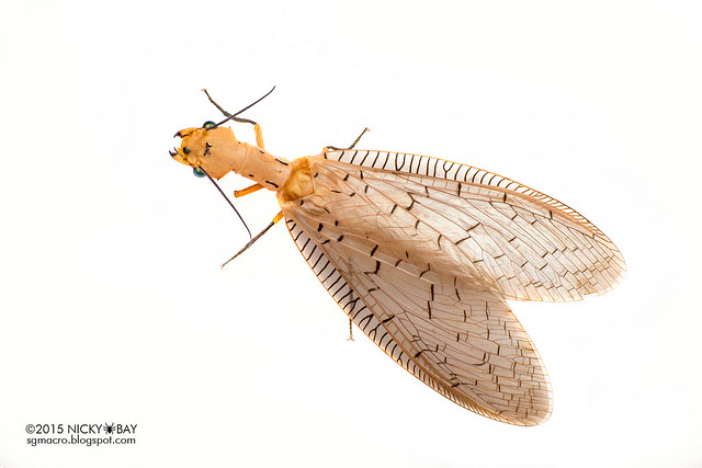 Dobsonfly (Corydalinae) - DSC_4459