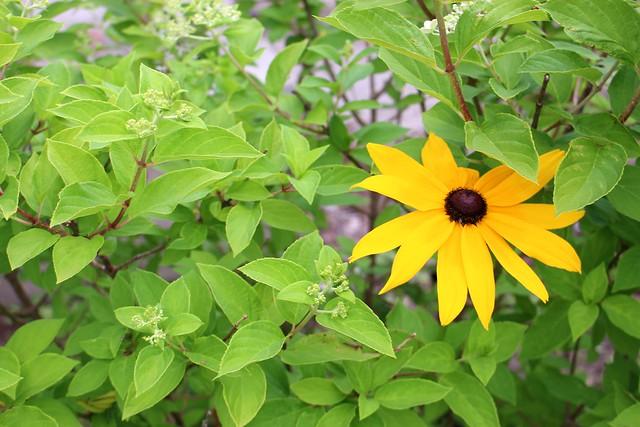 hydrangea-brown-eyed-susan