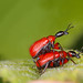 Hazel Leaf roller Weevils by naturecatcher58