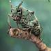 misty green longhorn by andre de kesel