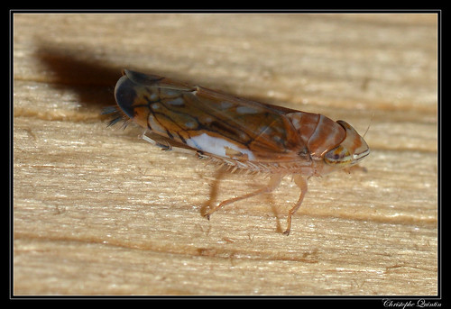 Cicadelle de la flavescence dorée (Scaphoideus titanus)