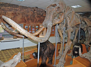 Mammuthus primigenius (woolly mammoth) (Upper Pleistocene, 40 ka; near the Tirekhtyakh River, Siberia, Russia) 3