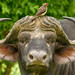 Buffalo - Syncerus caffer by lyn.f