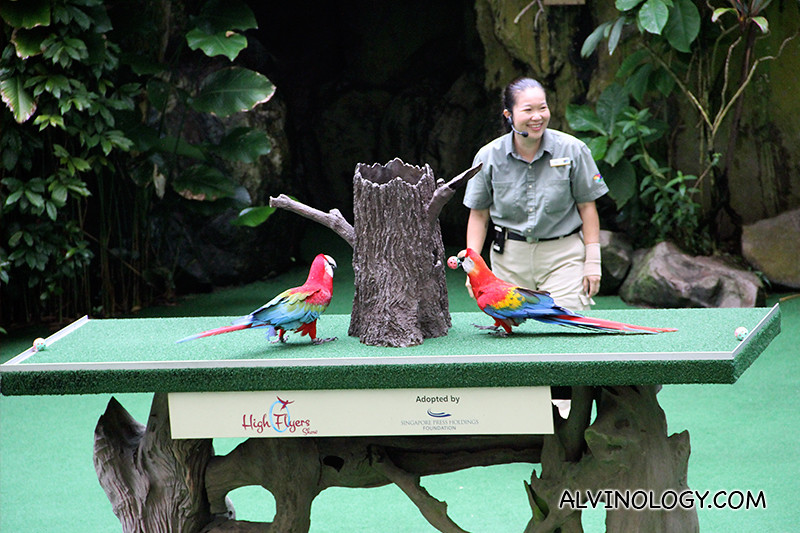 High Fliers show - two parrots competing to drop ping pong balls into the tree trunk