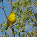 Yellow Warbler at Oxbow Bend by mghornak