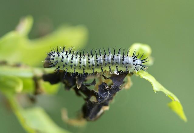 Oak Sawfly-----Periclista sp---probably P.pubescens.