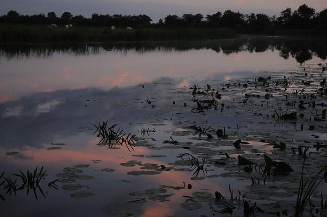 Abend an der Sorge - roter Pfeil zwischen Krebsscheren (Stratiotes aloides) und Teichrosen (Nuphar lutea); Bergenhusen, Stapelholm (83)