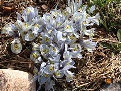 Katherine Hodgkins Dutch Iris
