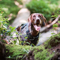 If a tree falls in the woods, Piper will find it and stand on it! :smile: #PiperOnALog