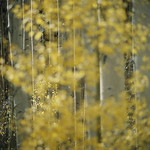 James Milmoe; Selective Focus, Aspens; Photograph - Stop/Look/See: Photography by James Milmoe