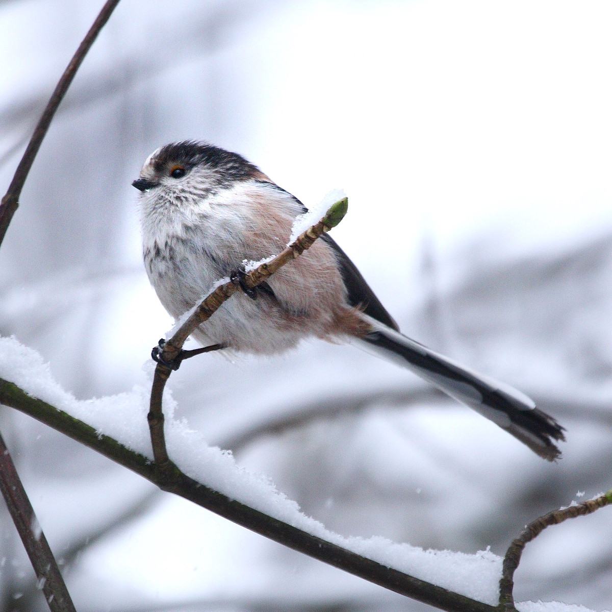 Long-Tailed Tit. Credit David Friel