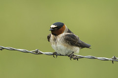 Cliff Swallow - Malheur NWR - Oregon_S4E9813