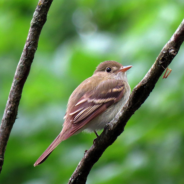 Header of Acadian Flycatcher