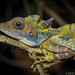 Gonocephalus grandis male by Tom's Macro and Nature Photographs