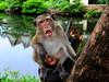 ,, Not So Polite Primate ,, by Jon in Thailand