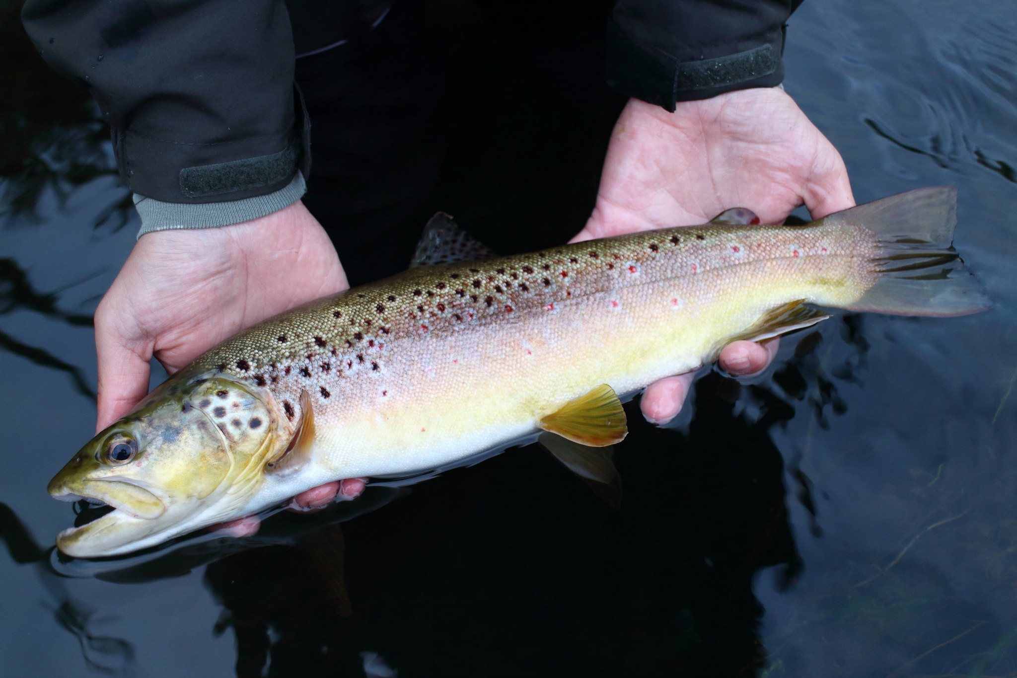 "16"" Brown Trout"