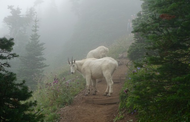 Olympic mountain goats, Mt Ellinor