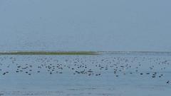 Large Flock of Ducks at Nalabana Bird Sanctuary