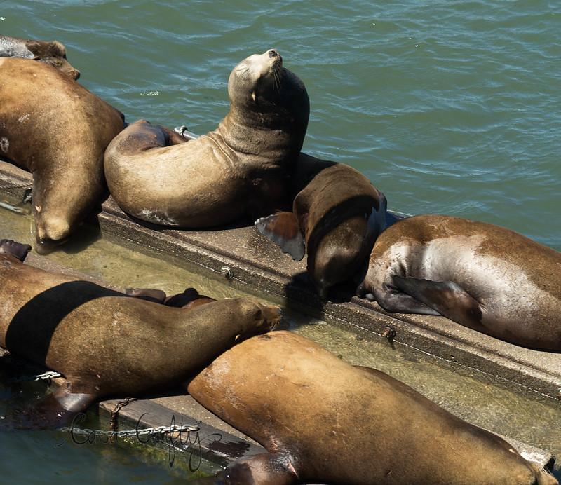 sea lions3 (1 of 1)