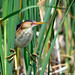 Male Least Bittern (Ixobrychus exilis) straddling the cattails by U. S. Fish and Wildlife Service - Northeast Region