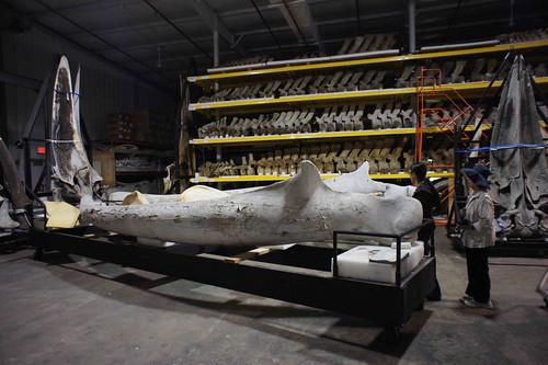 藍鯨下顎骨,。作者攝於美國華盛頓DC史密遜自然史博物館(National Museum of Natural History, Smithsonian Institution)。