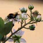 Hummel sammelt Honig an einer Brombeerblüte