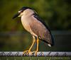 Black-crested Night Heron