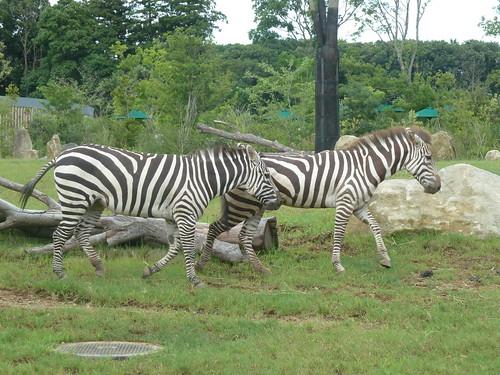 グランドシマウマ アフリカのサバンナ ズーラシア