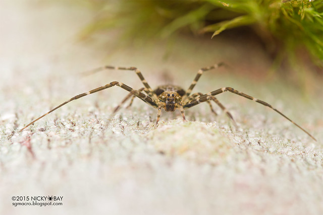 Two-tailed spider (Hersiliidae) - DSC_4223