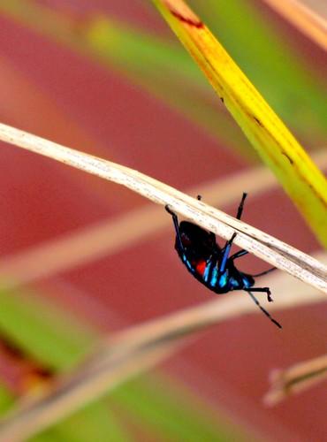 IMG 6918 Harlequin Beetle