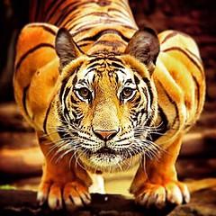 #eyeofthetiger  #readytopounce #getsum #bengaltiger #tigerplank