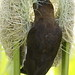 Small photo of Thick-billed Weaver, Amblyospiza albifrons in Kruger Park