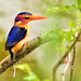 Pygmy Kingfisher South Africa by Jeff Clow