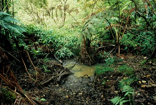 Pig wallow found in The Nature Conservancy's Waikamoi Preserve